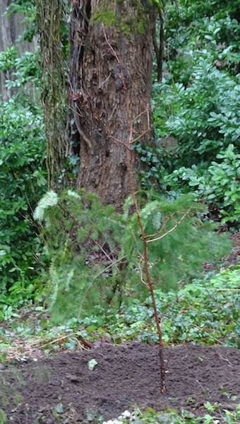 Dawn Redwood Sapling